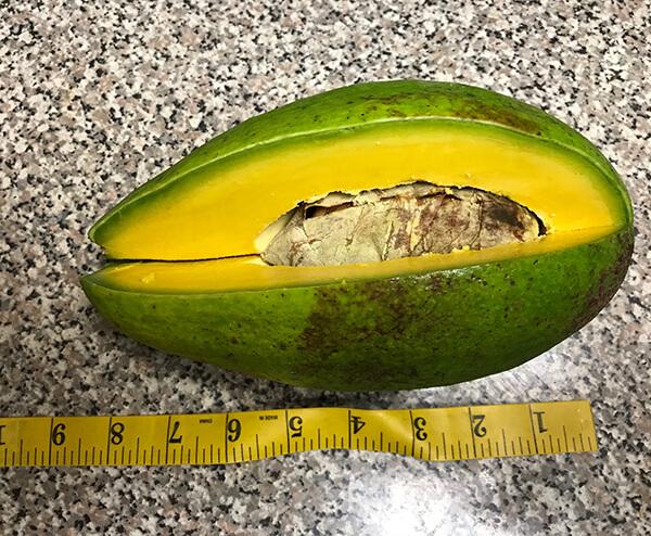 Miami Avocados