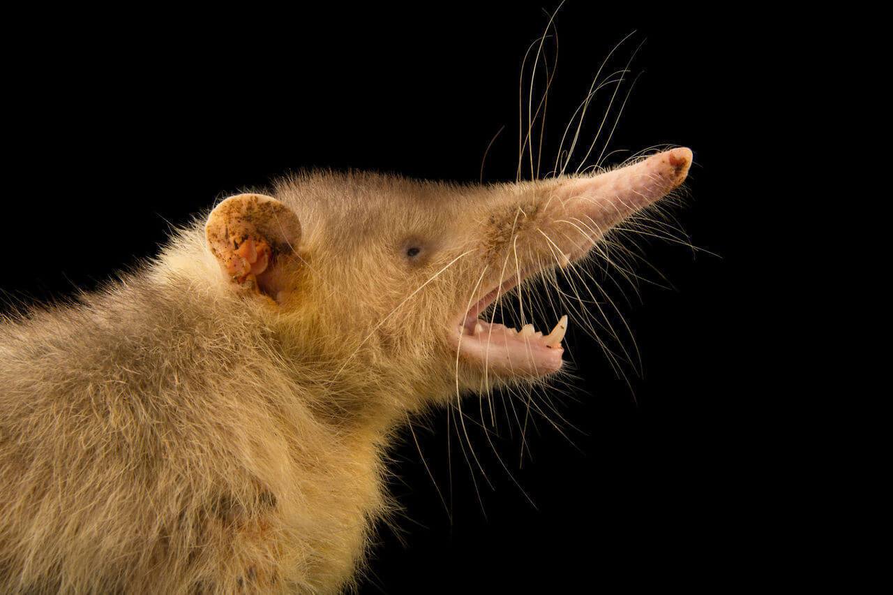 Solenodon-with-Opened-Mouth