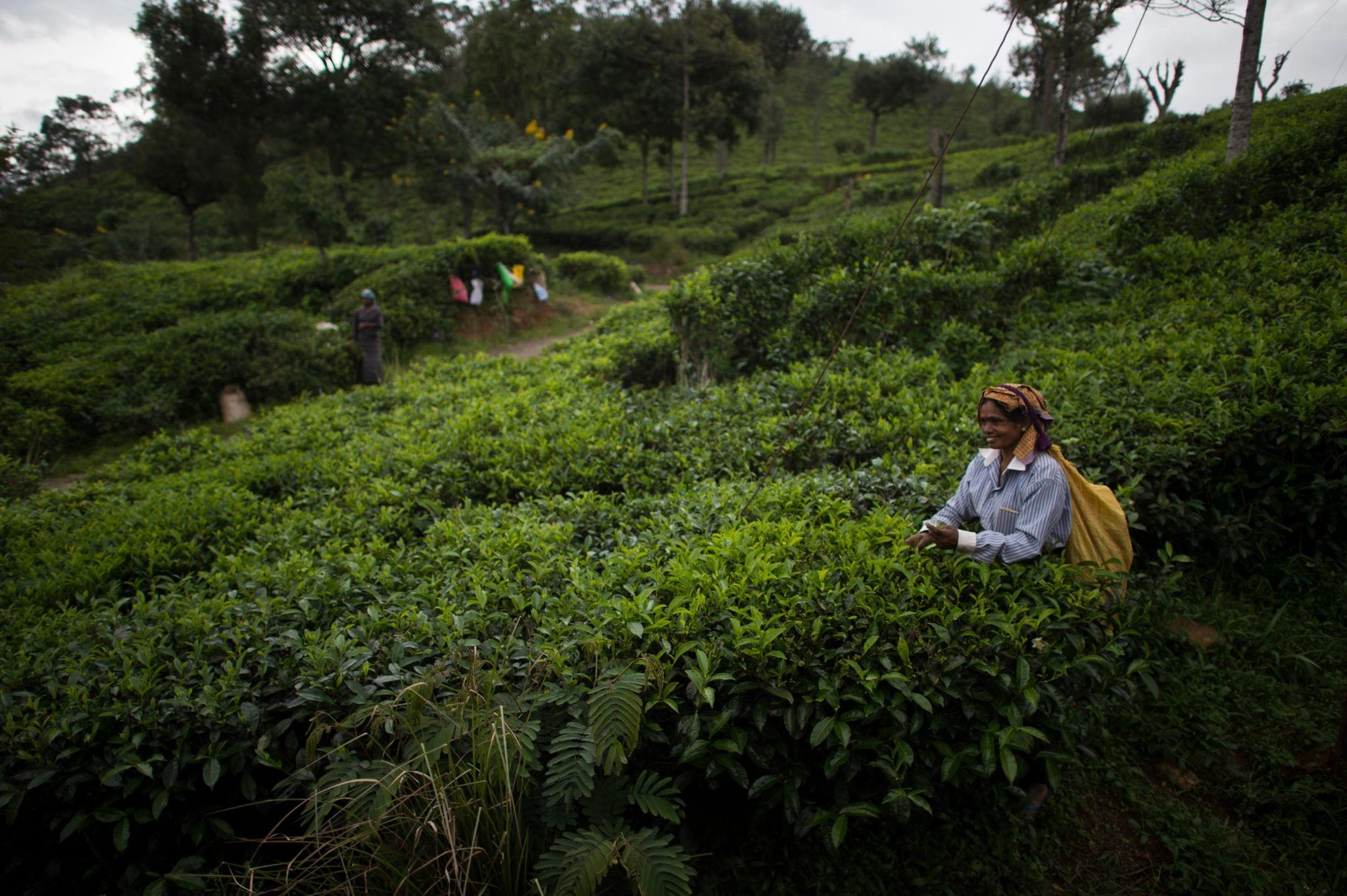 Woman Picking Tea Leaves