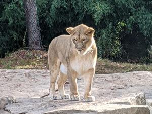 Lion Cincinnati zoo