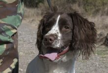 Photo of Drum – the British springer spaniel saves two rhinos.