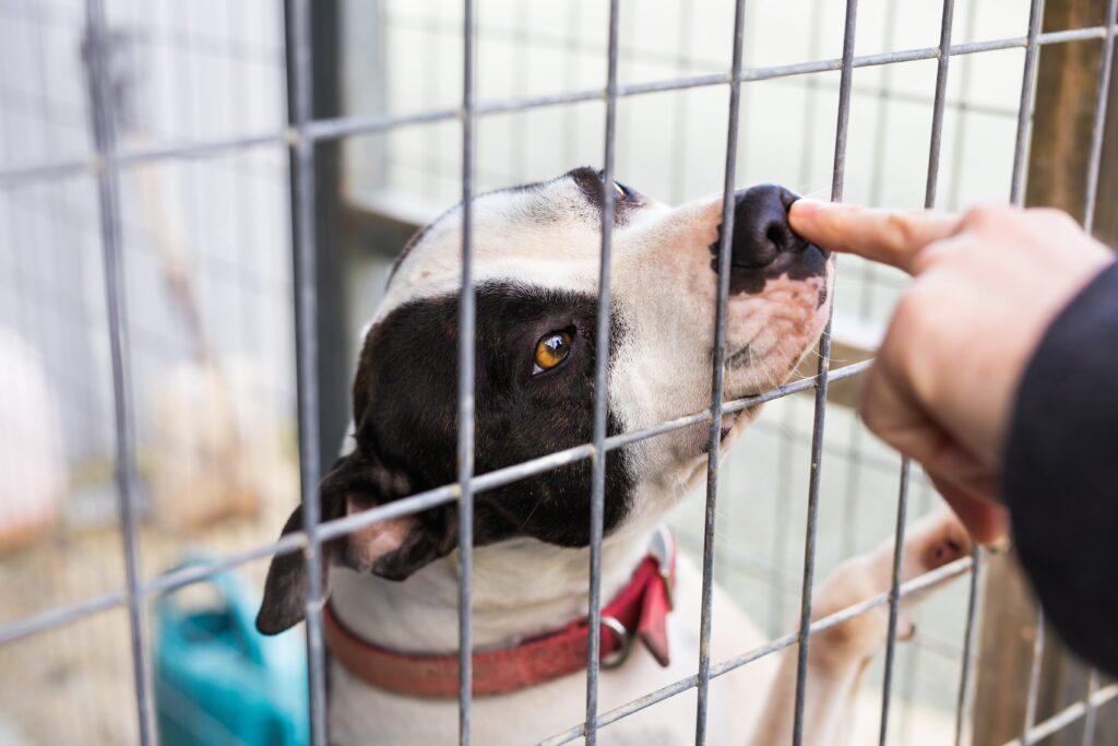 Closeup of bulldog in a cage