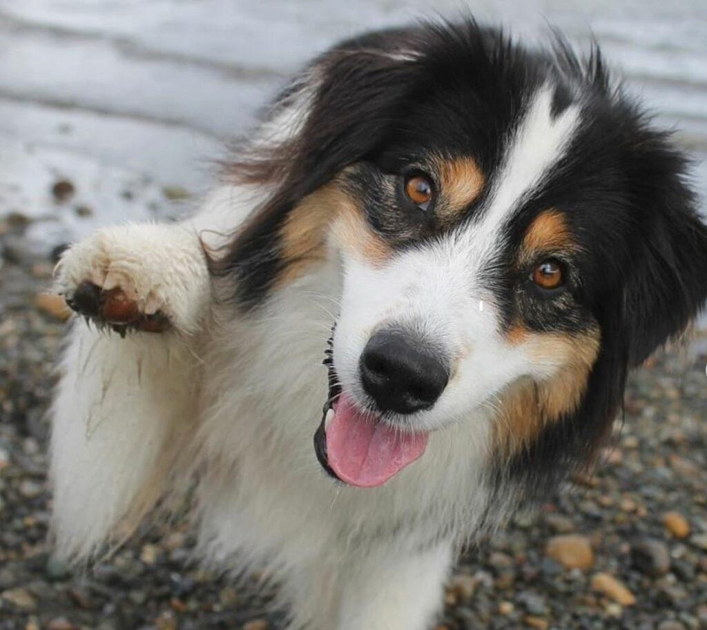 Secret the Jenga Playing Aussie Shepherd Dog