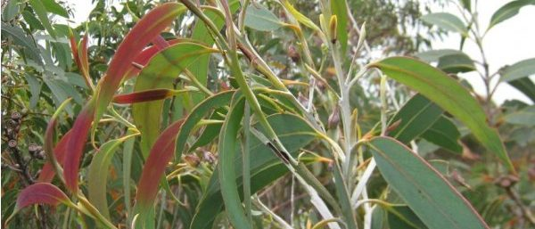 growing eucalyptus rainbow tree