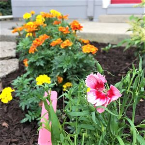 dianthus growit samples in Pennsylvania garden