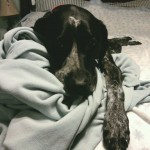 german shorthaired pointer sleeping in bed