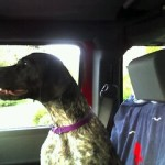 Image of German Shorthaired Pointer riding in the car.