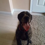 image of Simba, German Shorthaired Pointer