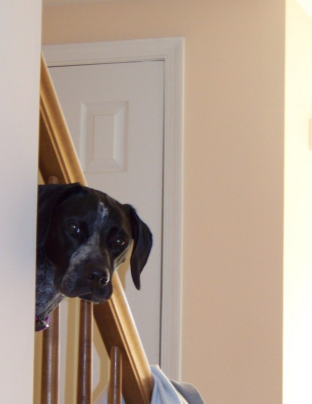 PICTURE OF GERMAN SHORTHAIRED POINTER