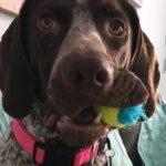 Gypsy the GSP dog
