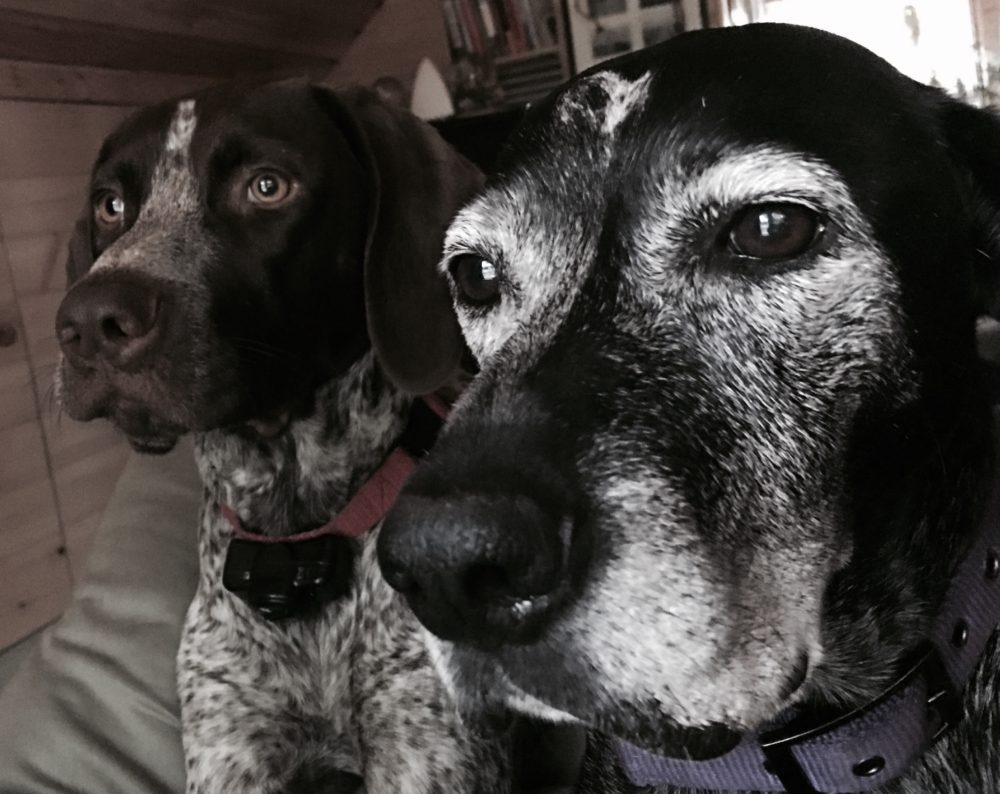 German Shorthaired Pointers-Greatdog-GSP