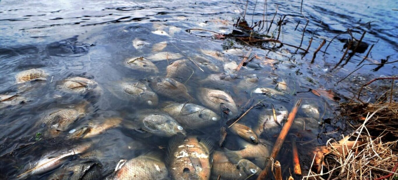 Victims of winterkill in thawed pond
