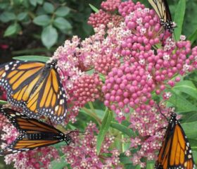 Monarchs on Swamp Milkweed