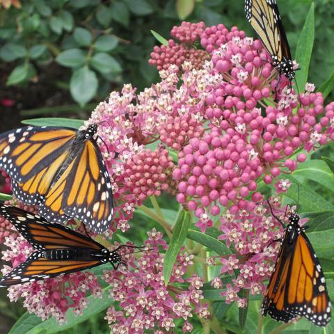 Monarchs on Swamp Milkweed