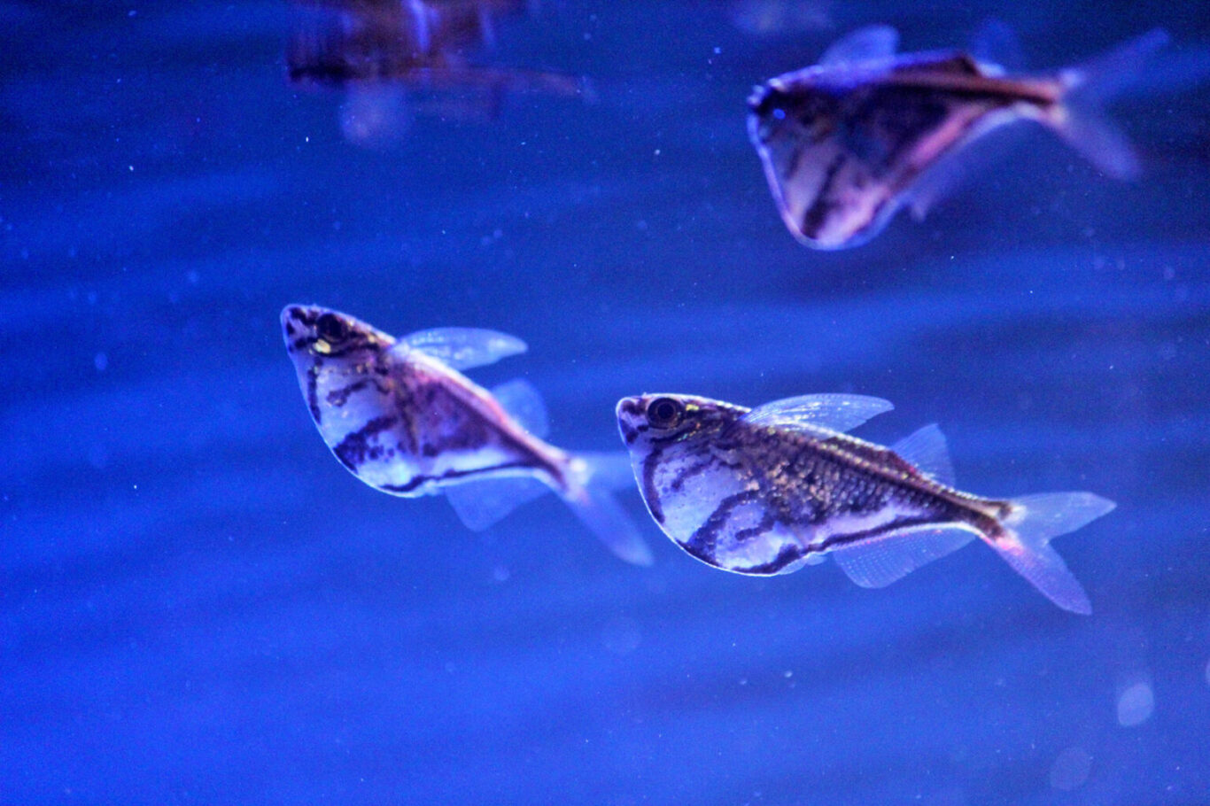 Flying Hatchet fish swim near the surface