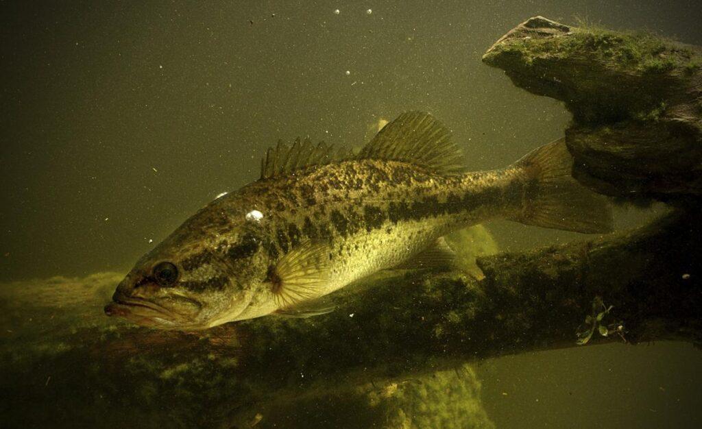 Largemouth Bass eats fish food