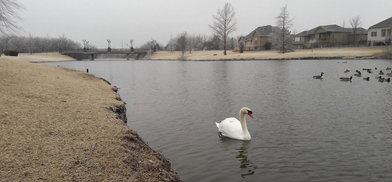 A white swan swims in a wintery retention pond in East Wichita