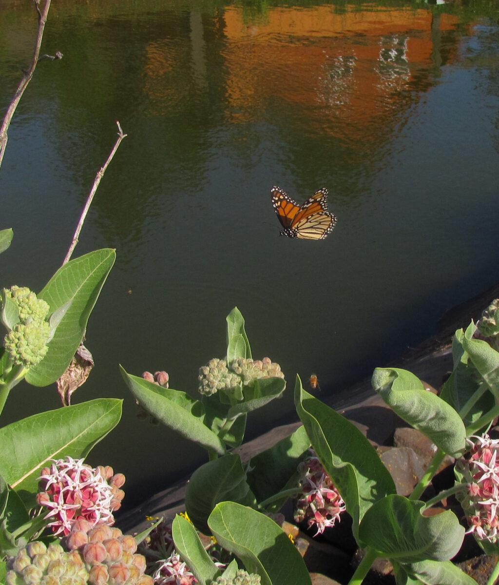 Monarch-flight-at-Winters-Hill-pond