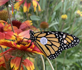 Gaillardia is an easy spring bloomer for a Monarch Butterfly Sanctuary