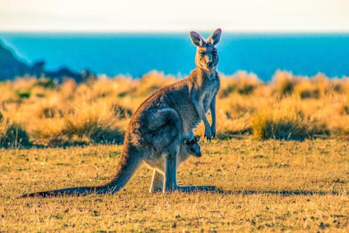 kangaroo by ocean