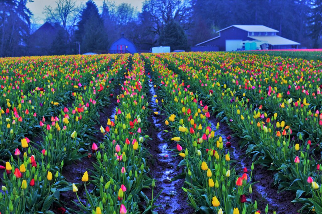 Spring Tulip Festival