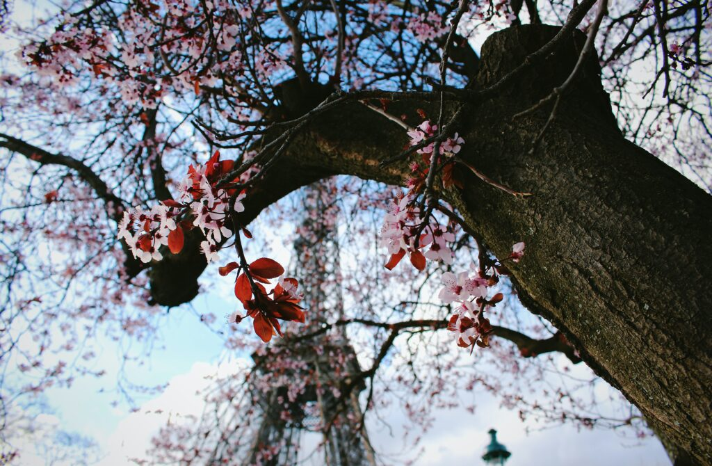 Cherry blossoms in front of the Eiffel tower