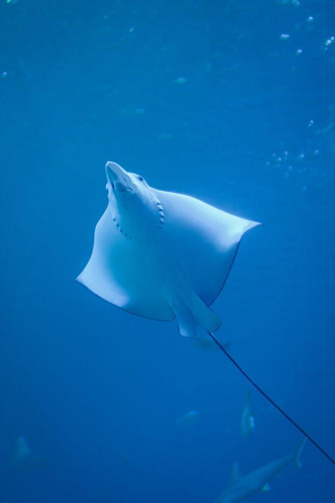Night snorkel with manta rays on the island of Hawaii
