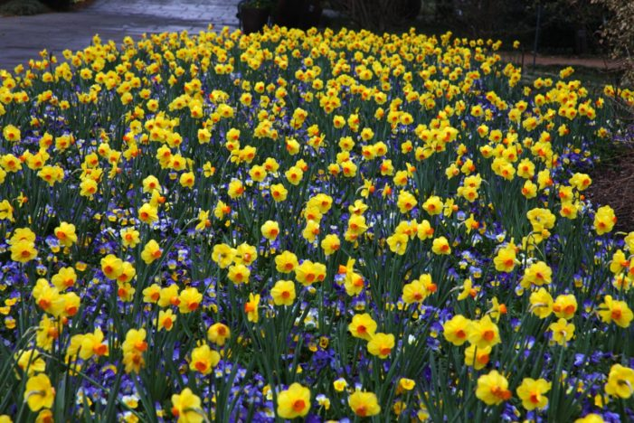 Triumphant daffodils announce Festival