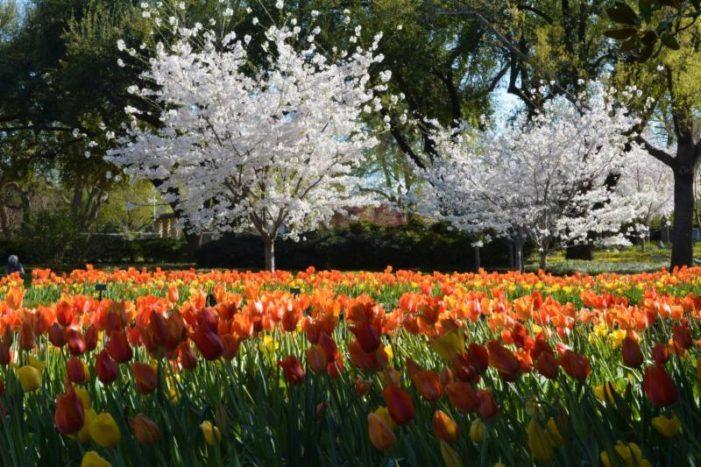 Garden's Sakura reflect delicate beauty