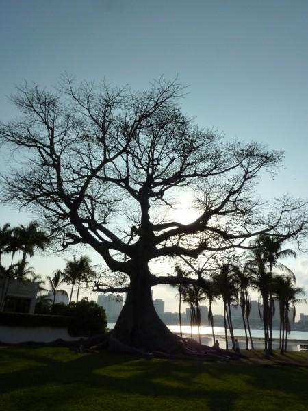 Kapok Tree in Florida