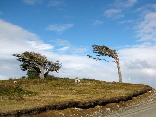 Ushuaia's sideways trees