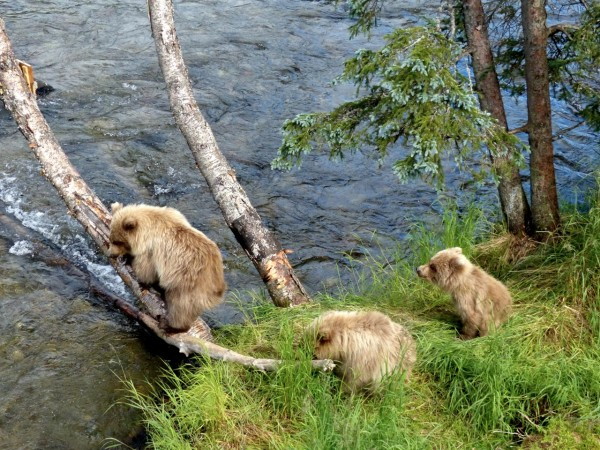 Brooks Falls- 3 yearling cubs