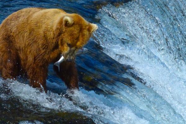 Brooks Falls- Bears catch salmon close up