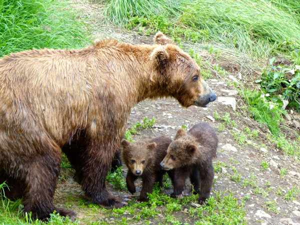 Brooks Falls- baby bears 2