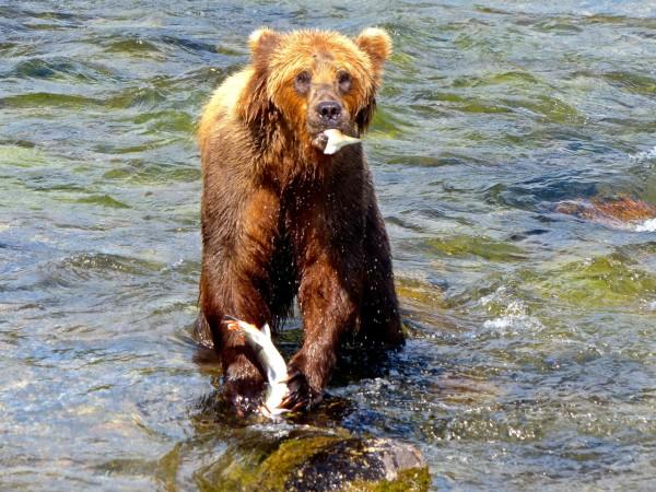 Brooks Falls- bear eating tail off salmon