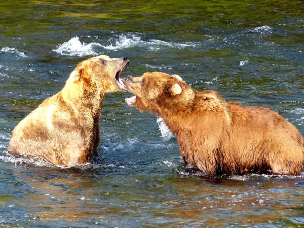 Brooks Falls- fighting bears