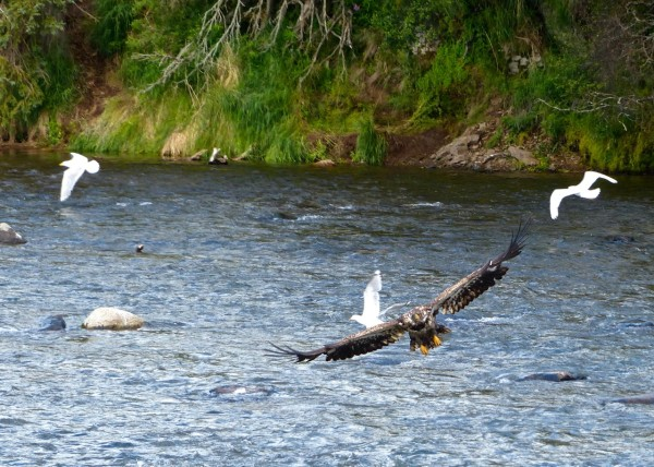 Brooks Falls- juvenile eagle in flight