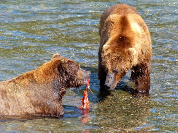 Brooks Falls- the share bears
