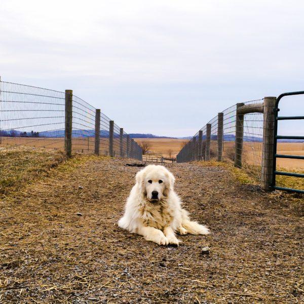 Sugarloaf Alpaca - Guard Dog