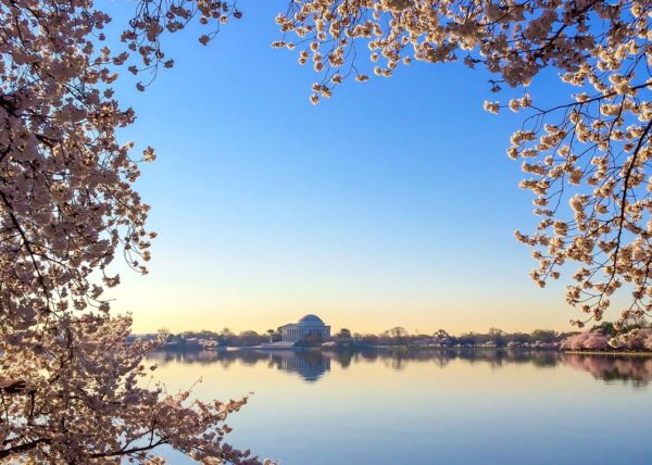 Cherry Blossoms in DC- Framed Jefferson Memorial- dawn