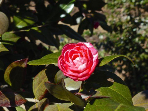 National Arboretum- Camellia