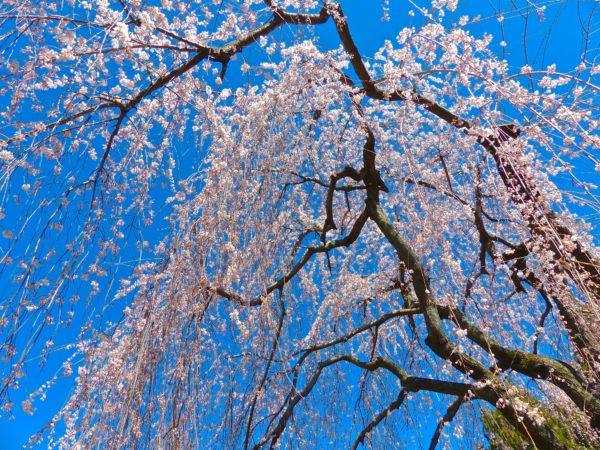 National Arboretum- Cherry Blossoms!