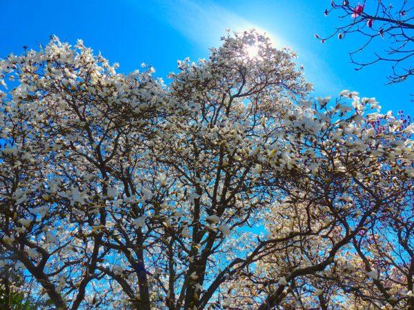 National Arboretum- magnolia trees