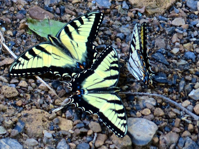 Natural Bridge- butterflies