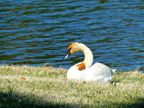 Airlie- swan