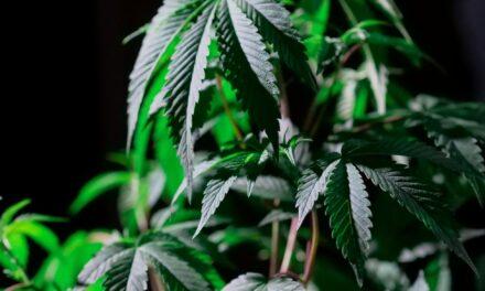 Grow Sisters: Inside A Family Cannabis Farm