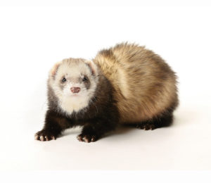 ferrets are treated at Wellesley Exotic Pet Vets in Richmond VA