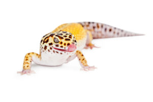 leopard gecko treated at Richmond, VA