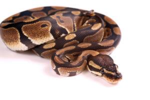 Royal Ball Python at Wellesley Exotic Pet Vet Richmond