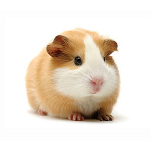 guinea pigs are provided veterinary care at Wellesley Exotic Pet Vets